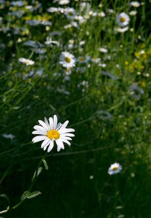 margarite: Beautiful flower white daisy with blurred daisies on dark green meadow background