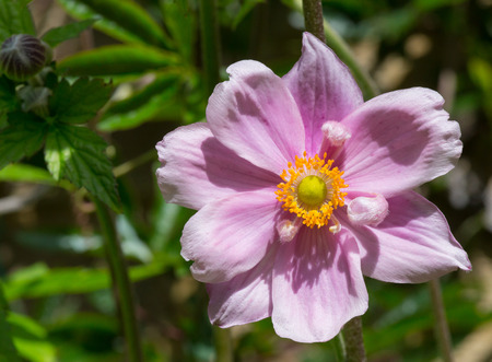 Close up of purple Japanese anemone flower green leaver and light brown brick wall in background