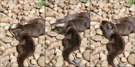 aonyx: Collage of  oriental small-clawed otter family sleeping on the rock, Lazy group of young Asian short-clawed otters.