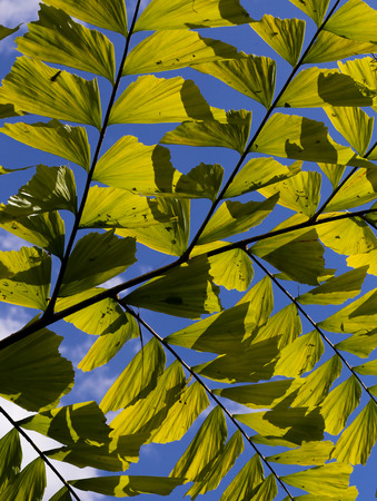 clustered: Caryota mitis fishtail palm leaves in full sun and blue sky background Stock Photo