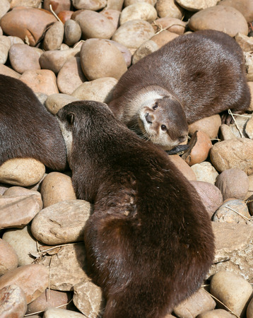 small clawed: Oriental small-clawed otter family sleeping on the rock, Lazy group of young Asian short-clawed otters.