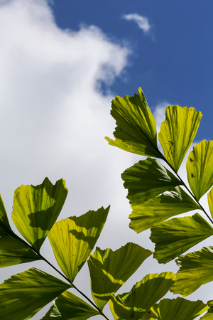 fishtail: Caryota mitis fishtail palm leaves in full sun and blue sky background Stock Photo