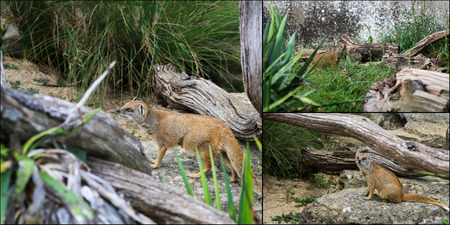 Collage of Yellow Mongoose Cynictis Penicillata, rocks and old fallen tree branches Stock Photo