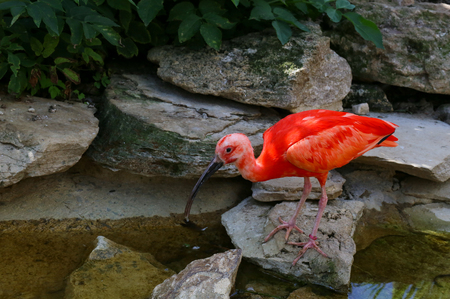 ciconiiformes: Scarlet ibis Eudocimus ruber stands on rocks at the edge of water