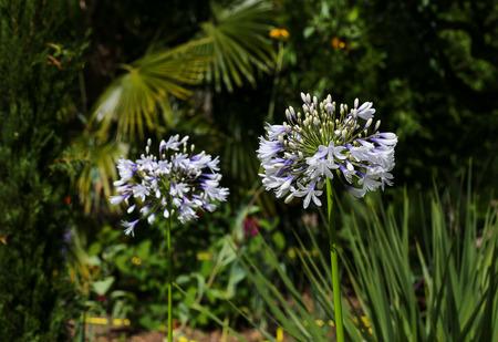 allium flower: Big white allium flower head on a dark green garden background