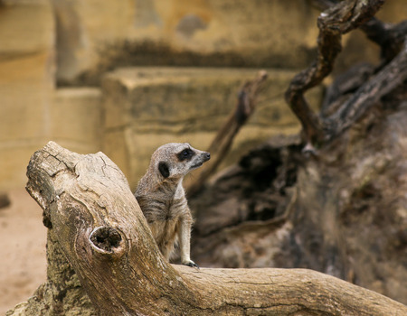 suricata: Meerkat Suricata suricatta standing and watching in Zoo background with rocks Stock Photo