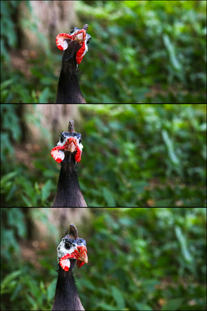 Portrait Collage of Helmeted Guineafowl Numidia Meleagris Numididae bird with green leaves in background Stock Photo