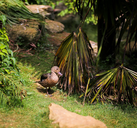 dabbling: Madagascar Teal Anas bernieri Small dabbling duck in a zoo