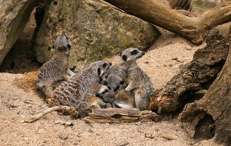 suricatta: Meerkat Suricata suricatta family in Zoo background with rocks