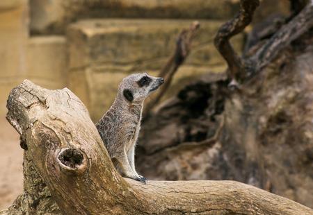 Meerkat Suricata suricatta standing and watching in Zoo background with rocks Stock Photo
