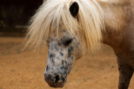 appaloosa: Portrait of spotted pony in farmyard animals with light brown background