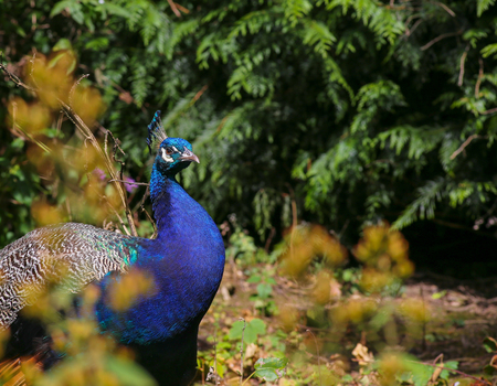 crone: Peacock Indian peafowl in the forest dark green background