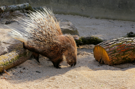 spines: African crested porcupine Hystrix cristata displaying spines in the zoo
