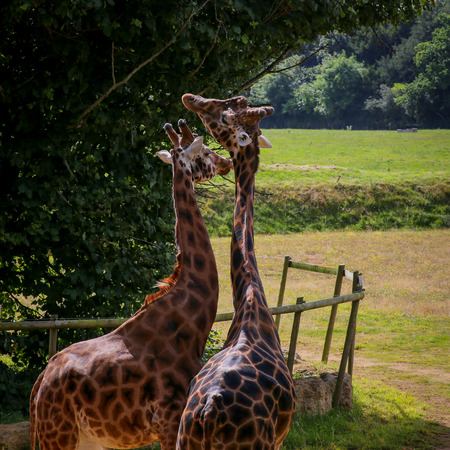 africa kiss: Giraffe pair bonding and entwining necks in the zoo
