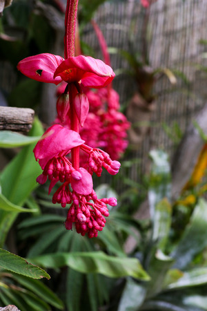 philippine: Blossom of a Medinilla Magnifica Red Pink Philippine Orchid flower