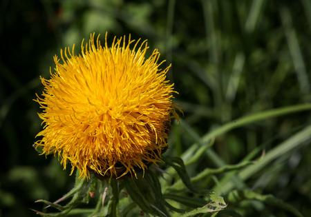 Giant knapweed bighead Centaurea macrocephala Yellow thistle flower