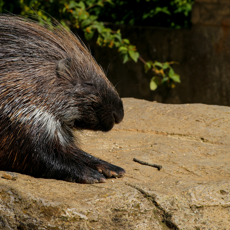 spines: African crested porcupine Hystrix cristata displaying spines, resting on the rock