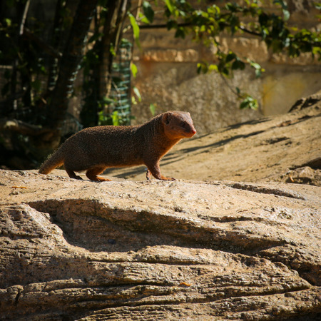 looking around: Dwarf mongoose Helogale parvaula on a rock looking around