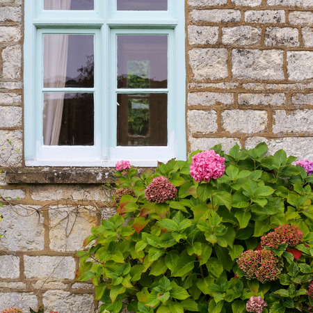 Pink hortensia flowers hydrangea in the cottage garden with pale blue window in a stone wall Stock Photo