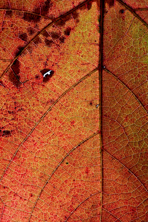 Light through a Red grape Ivy autumn leaf veins, great texture of autumn leaf reticulate venation