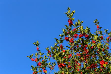 Common holly bush with bright red berries and prickly leaves, blue sky background