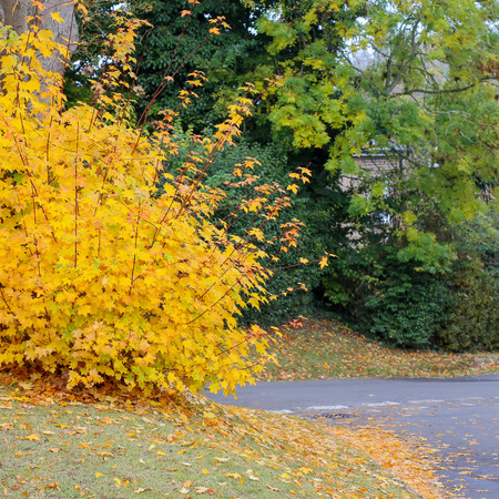 Autumn street corner with fall maple tree displaying yellow colorful foliage