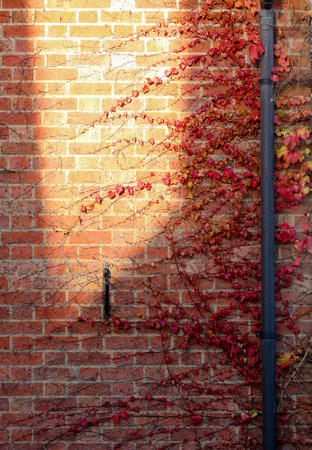Red Ivy Creeper Leaves on the old brick wall with large yellow sun spot and rainwater pipes Stock Photo
