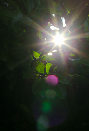 Morning sun rays through the green fence leaves, dark background