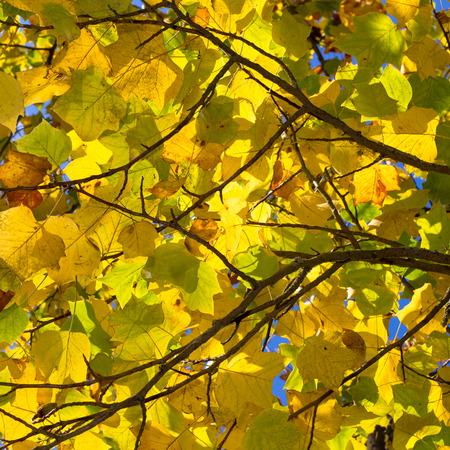 arbol alamo: Hojas de otoño coloridas en el árbol de álamo americano tulipán, brunch con las hojas de color amarillo anaranjado tuliptree madera blanca, Liriodendron tulipifera con follaje de otoño de oro Foto de archivo