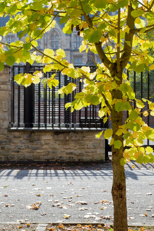 Young maple tree on the street with yellow leaves on autumn sun fall background