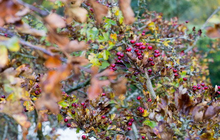 Ripe red fruit of Hawthorn berries on brunches with golden autumn leaves (Crataegus laevigata, mayflower)