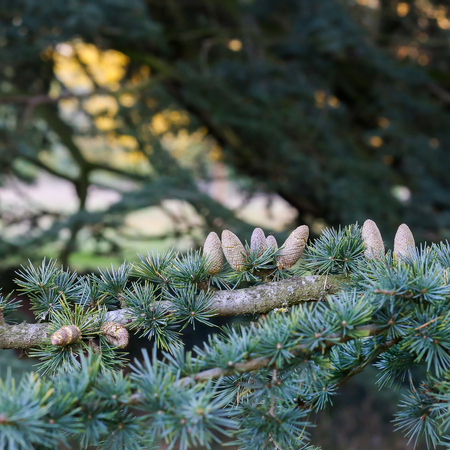 Blue Cedar branches with fruit cones, Cedrus atlantica Glauca Northern Africa Evergreen