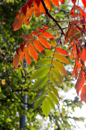 pinnately: Vibrant red green Tree of Heaven (Ailanthus altissima) leaves in fall, invasive species Stock Photo