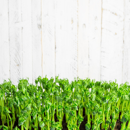 Pea green young tendril plants shoots in growing container, seedlings against light background