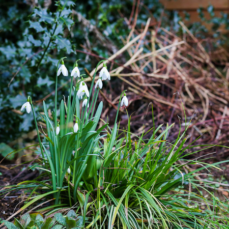 group of snowdrop spring flowers galanthus nivalis in the forest wilde garden stock photo - Wilde Garden
