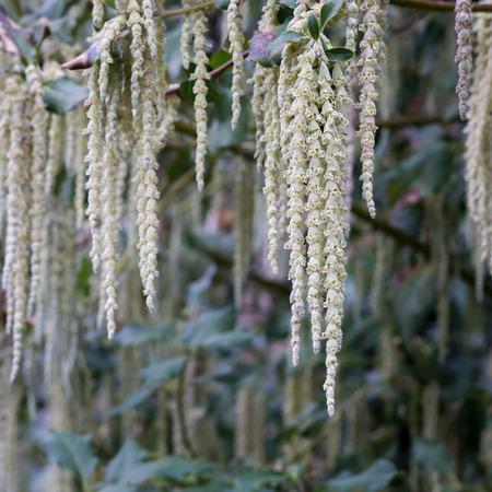dioecious: Garrya elliptica - Silk tassel - James Roof long silky catkins shrub