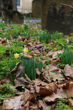 Spring yellow daffodils flowers  on graveyard with dry brow leaves and brunches