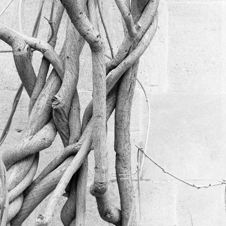 Old wisteria plant bare wines in winter growing up the side of a antique stone wall Stock Photo