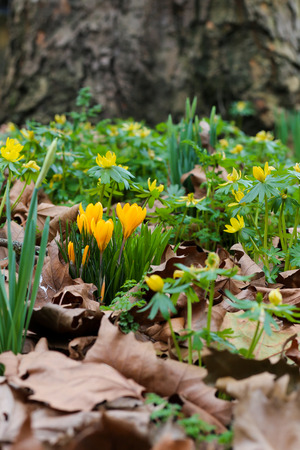 Spring flowers - yellow crocus, daffodils and winter aconites on graveyard with dry brow leaves