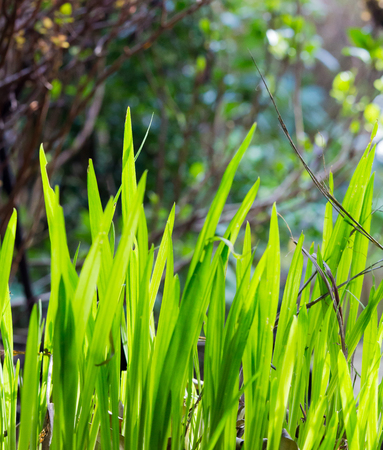Bright young Crocosmia leaves on dark background sun light on leaves Stock Photo