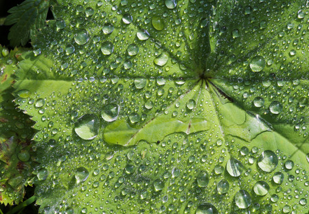 Alchemilla mollis - Ladies Mantel - fan-shaped leaves plant after a rain shower with sparkles in raindrops