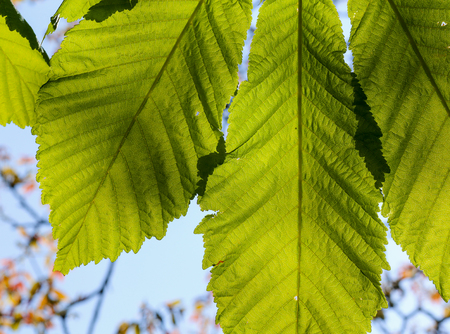 Horse chestnut leaf illuminated by the sun with a bright green foliage
