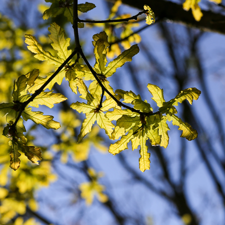Young oak tree leaves illuminated by the sun with a bright green foliage, blue background Stock Photo