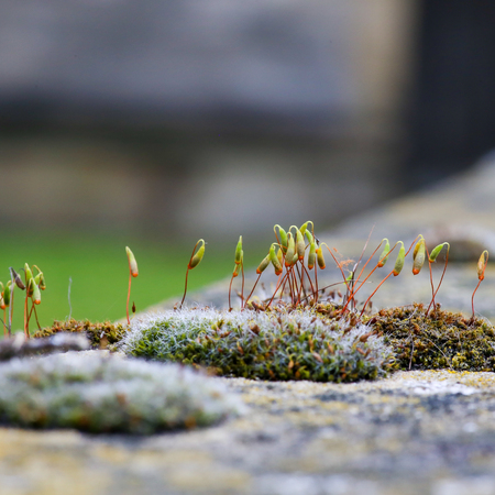 Moss green spore capsules on red stalks on sandstone wall blurred background Stock Photo