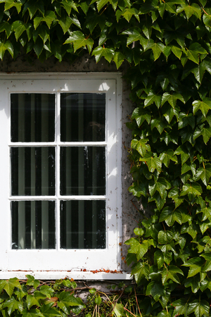White window with green creeping ivy leaves in sunlight background Stock Photo