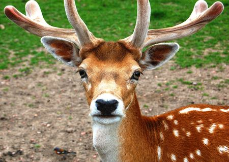 Closeup of a gazing male deer with antlers   photo