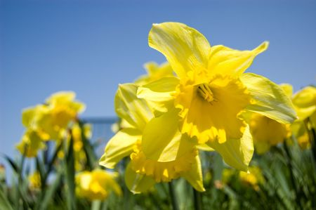 Daffodil in the field with blue sky background photo