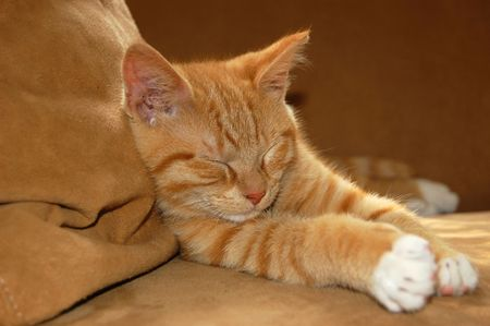 oversee: Little red kitten in sleeping on the couch