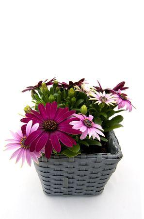 grew: Spanish daisy in a grew basket on white