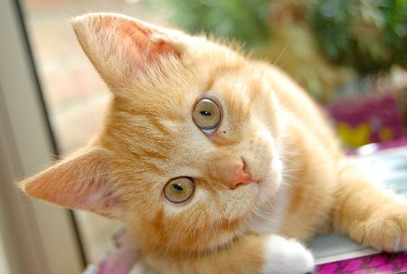 gato naranja: Curioso gatito rojo watching you